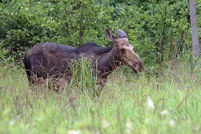 Cow Moose - Alonquin Park - July 21, 2008