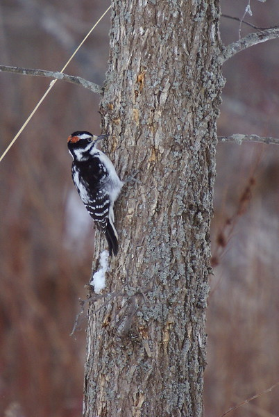 this male downy woodpecker was busy searching for food beside us while we were watching a red-tailed hawk hunt and feed.