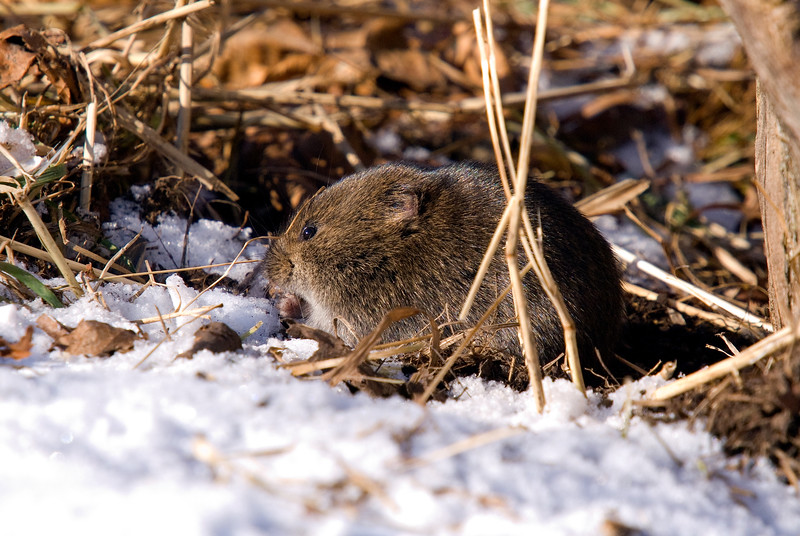 Vole - the island's star attraction...at least as far as Owl's are concerned.