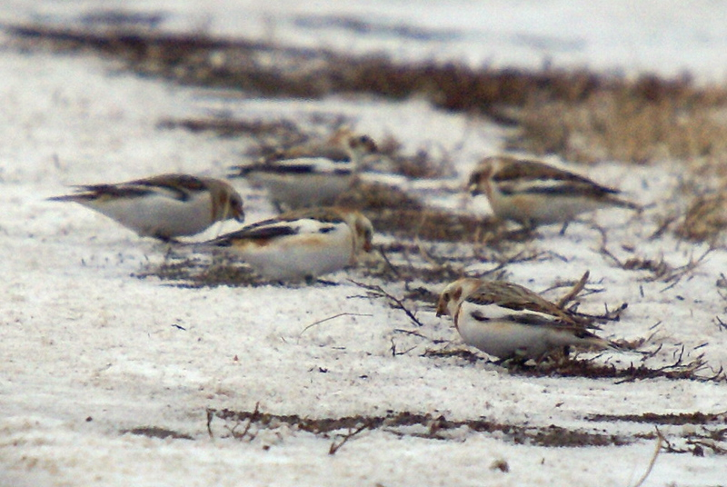 Snow Buntings....that magically appear and remain exactly 60 feet away at all times whether viewed by car or by foot.