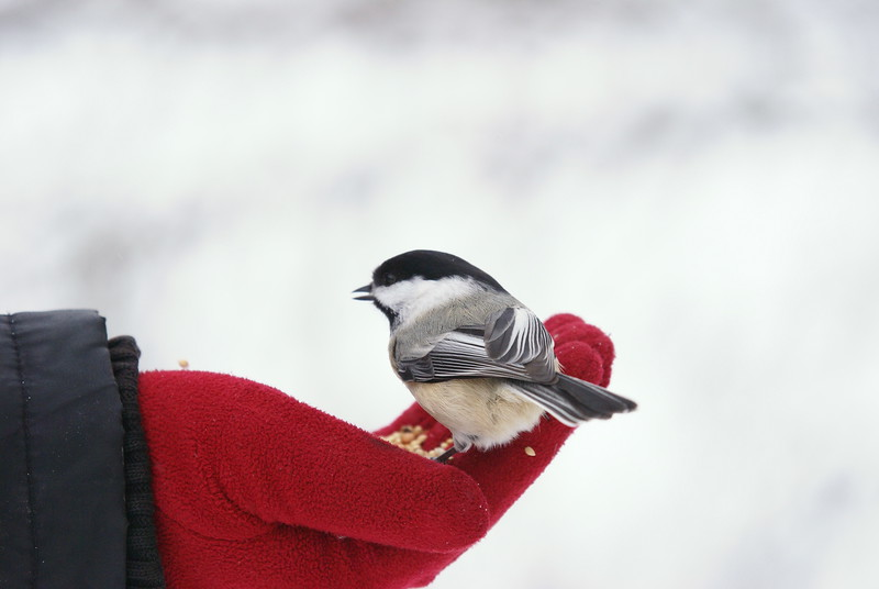 Be warned, the chickadees are extremely friendly and will perch on your head or camera lens...long after you have run out of seed.