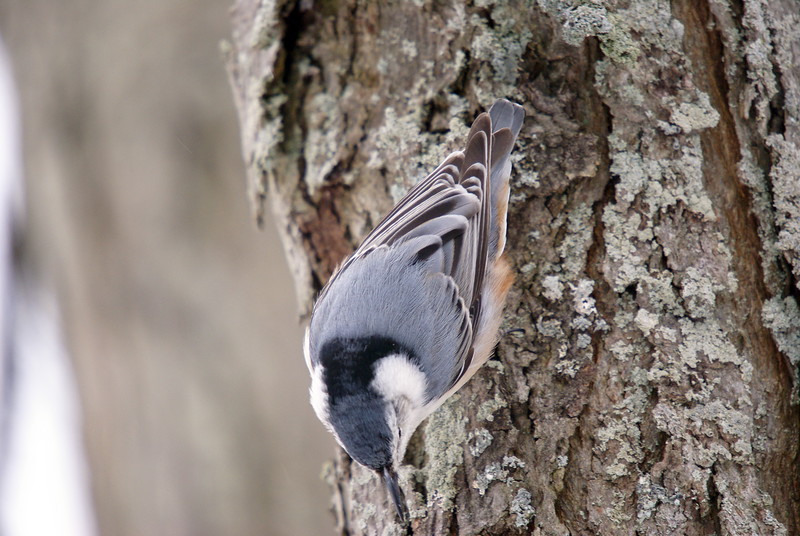 White-breasted nuthatches were plentiful...and always a joy to watch and listen to.