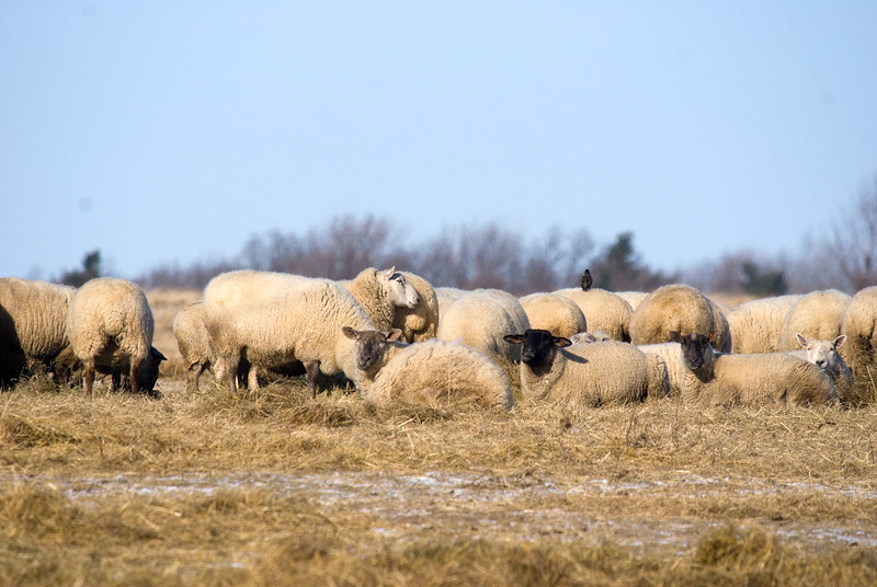 Sheep in a farmer's field (+1 suspected European Starling resting on the sheep)