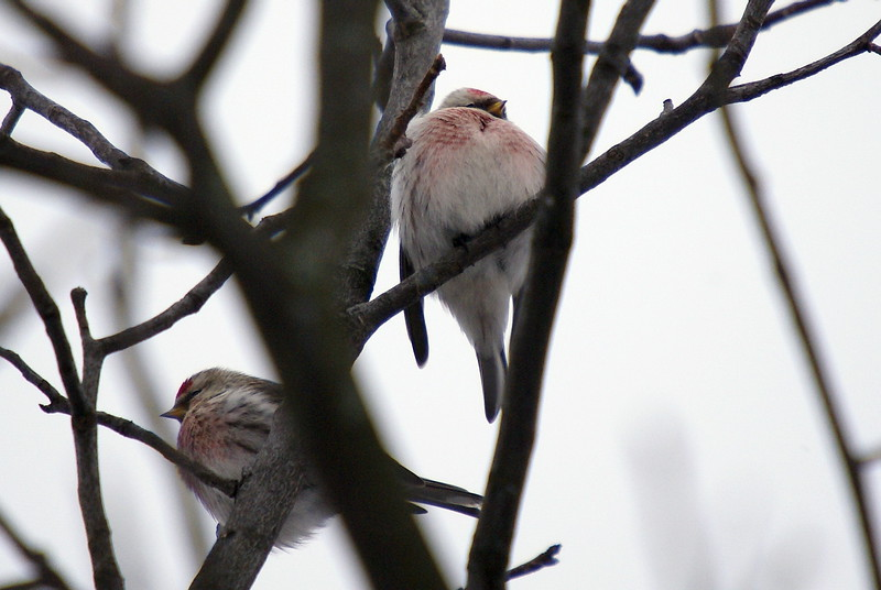 Common and Hoary Redpoll.