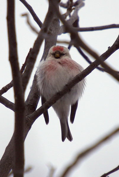 Hoary Redpoll. Notice the very pale body and lack of streaking.