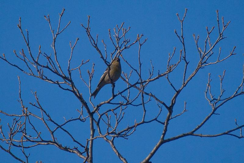 Pine Grosbeak (Female)