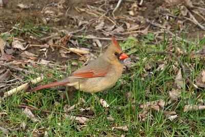 Female Cardinal