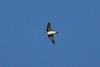 Rough-winged Swallow in flight