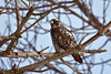 juvenile dark morph rough-legged hawk