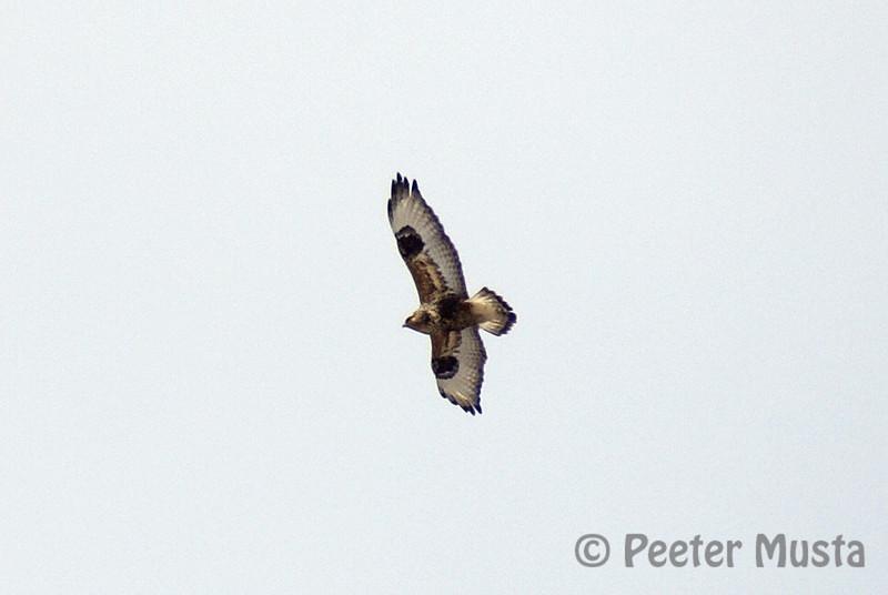 Rough-legged Hawk (adult male light morph)