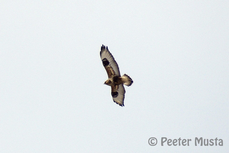 Rough-legged Hawk (adult male light morph)