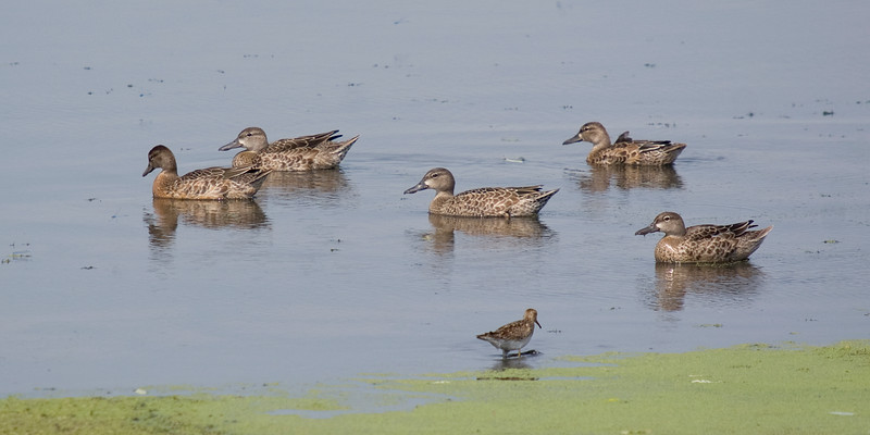 Blue-winged Teal, and a pectoral sandpiper
