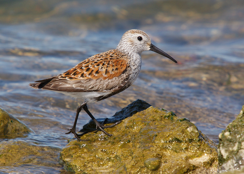 Dunlin may be a relatively common bird....especially for those on the coast, but getting close views of dunlin approaching breeding plumage in spring migration in landlocked south-central ontario was a treat.
