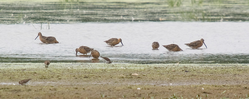 Short-billed Dowitchers, and least sandpipers.