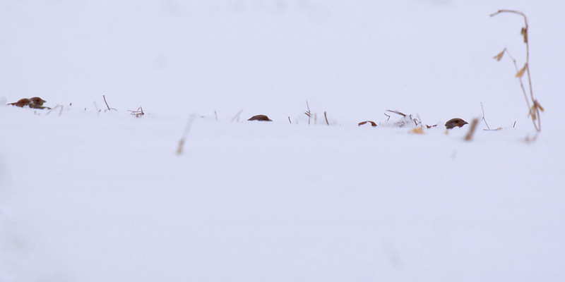 Grey Partridge (at least 8, and likely more were hiding in the middle of a snow covered field)