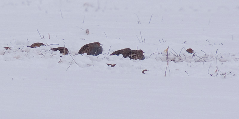 A brief and very distant view of the Grey Partridges somewhat exposed. Seconds later only the tops of the heads were visible as they ducked for cover.  Added to life list February 2011.