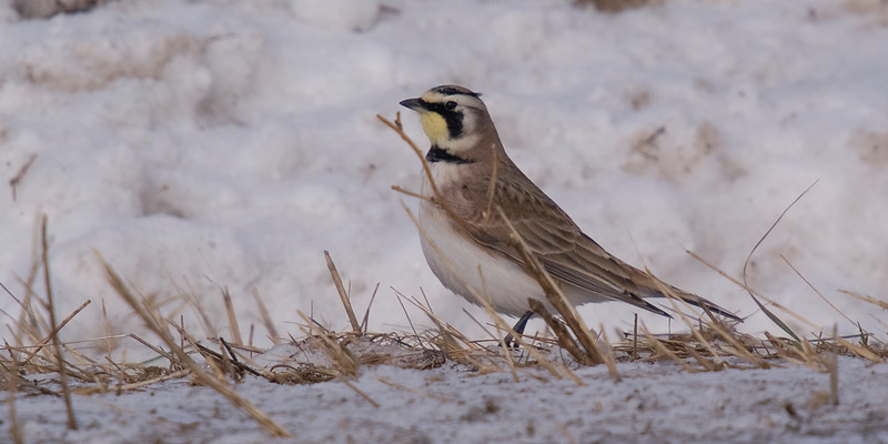Horned larks were quite friendly, landing on the road beside me while observing the partridges.