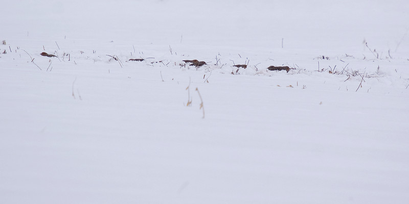 If you can imagine opening up to a full field of snow with various patches of brush, mud and grass poking through. From a distance, this covey of Grey Partridges blends perfectly into their surroundings.