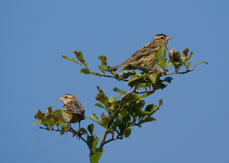 Young Bobolinks