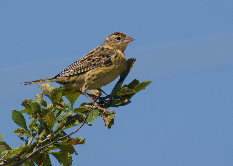 Young Bobolink