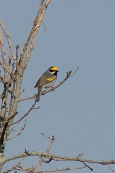 Golden-winged Warbler - it was great to finally see this bird. It really helped that it sang all day from the same tree...however, it would have been even better if that tree wasn't 200ft from the road!