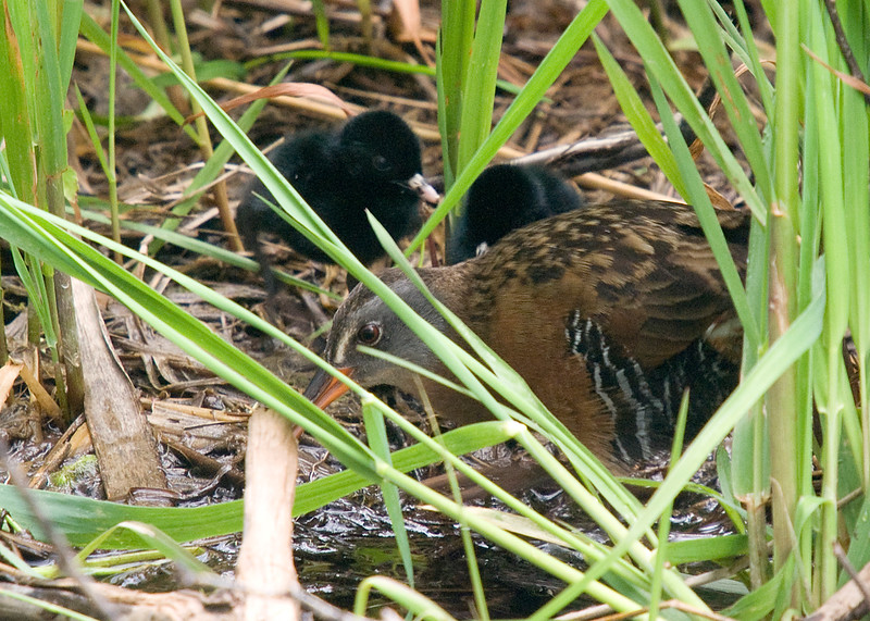 Virginia Rail and chicks. Was thrilled to sit and watch a pair of adults escort 5 chicks to an opening in the marsh to feed them. Sitting still and just watching what comes your way certainly has its benefits. They didn't mind me at all....and i didn't move.  Shortly after this observation a massive thunderstorm rolled in, complete with 20 minutes of driving hail.  Needless to say, the chicks were gone following the downpour and this area was totally flooded.  Would have loved just 1 minute with some sunshine to shoot!