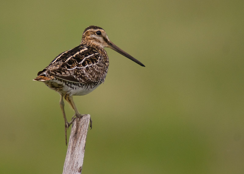 Wilson's Snipe (and tent caterpillar climbing up the leg)