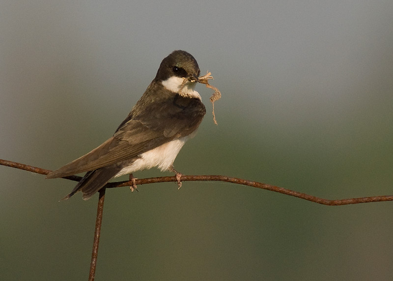 Drab adult Tree Swallow