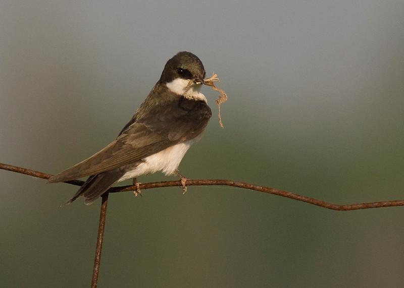 Drab adult Tree Swallow