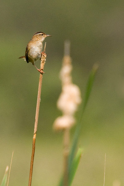 Marsh Wren - if only all wrens were as fond of perching up high and in the open! (even if only briefly)