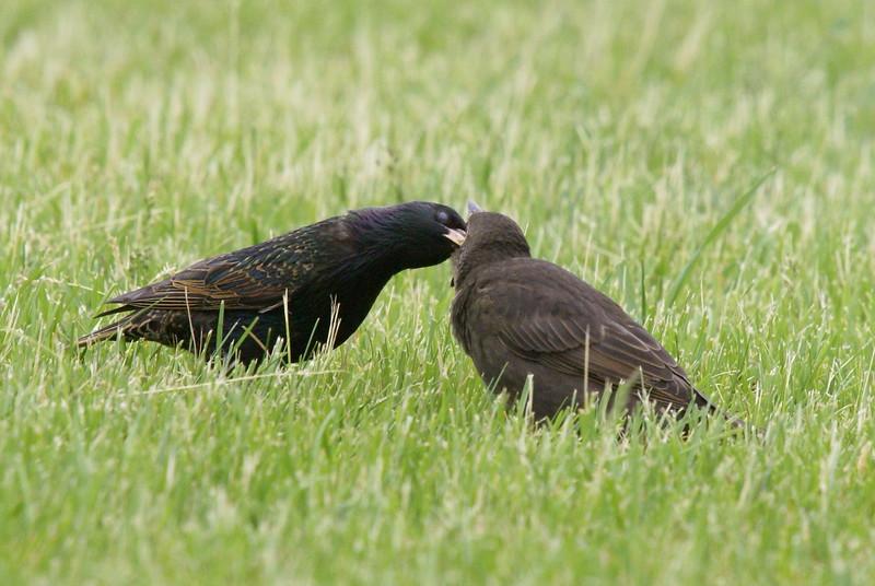 Feeding time for a juvenile European Starling.