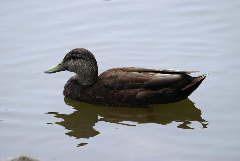 Male Black Duck