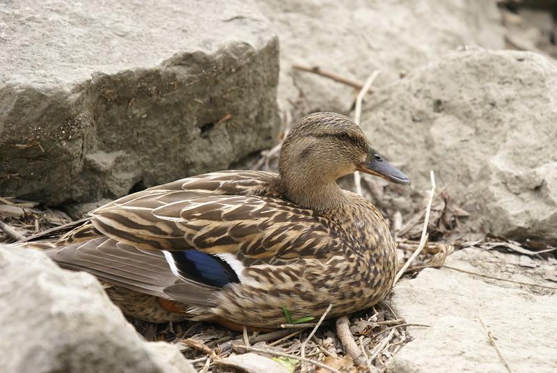 Female Black Duck. Possible Hybrid with Mallard.