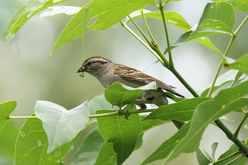 Chipping Sparrow with inch worm.