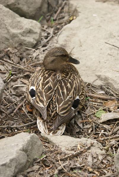 Female Black Duck. Possibly Mallard hybrid.