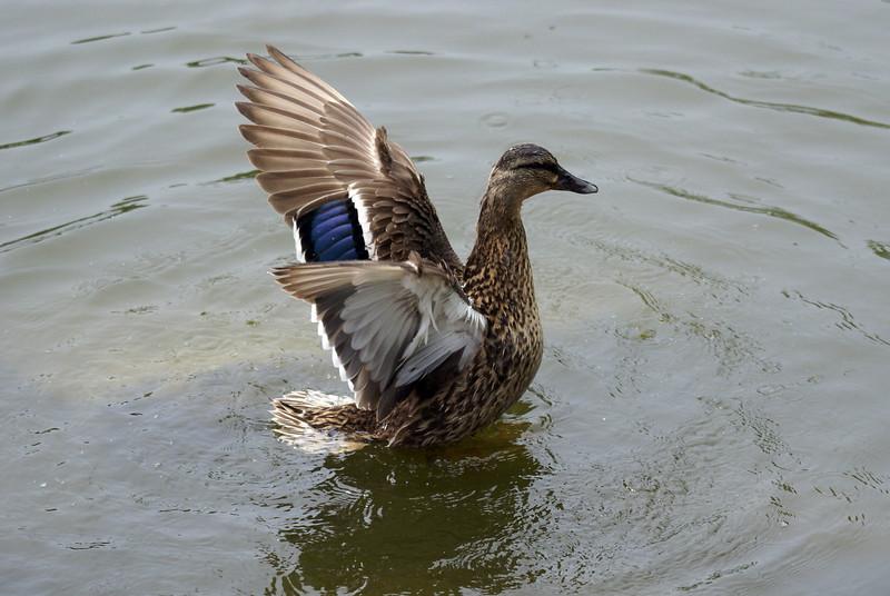 Female Black Duck. Possibly Hybrid with Mallard.