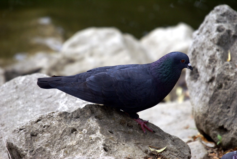 Rock Dove...more commonly known as a good ole' Pigeon.  Rock Dove seems more elegant.