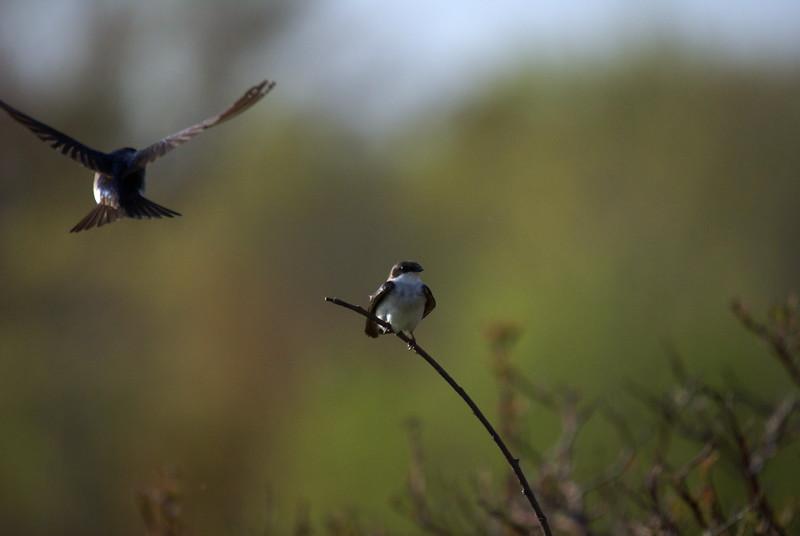 Pair of mating Tree Swallows.