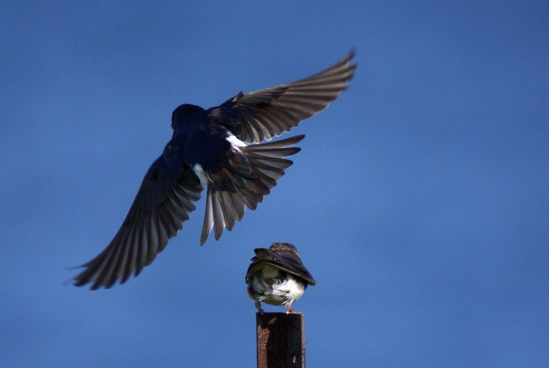 Pair of mating Tree Swallows.