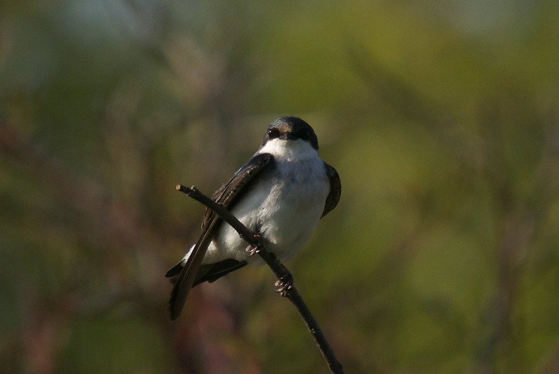 Female Tree Swallow awaiting return of the male.