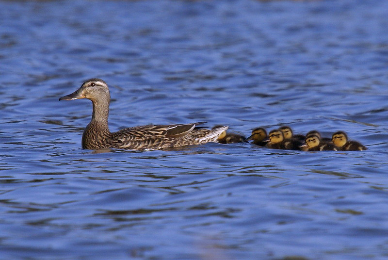 Mallard Hen with chicks
