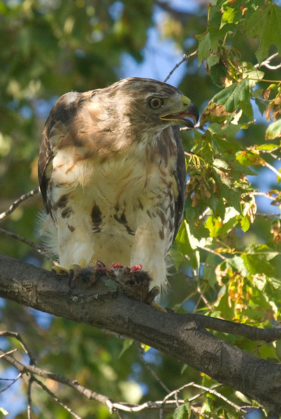 Juvenile Red-tailed Hawk with prey