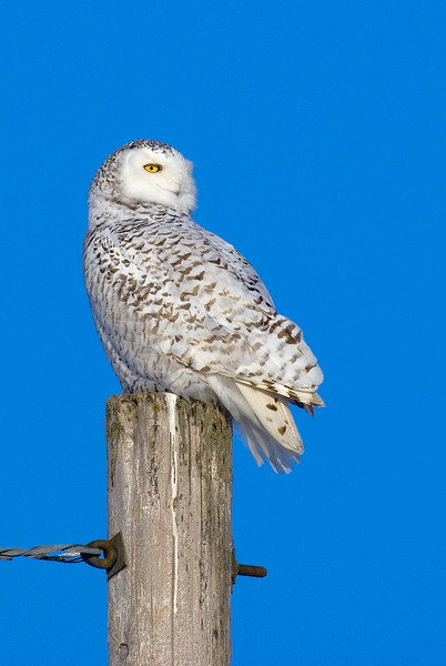 Snowy Owl (Adult Female)