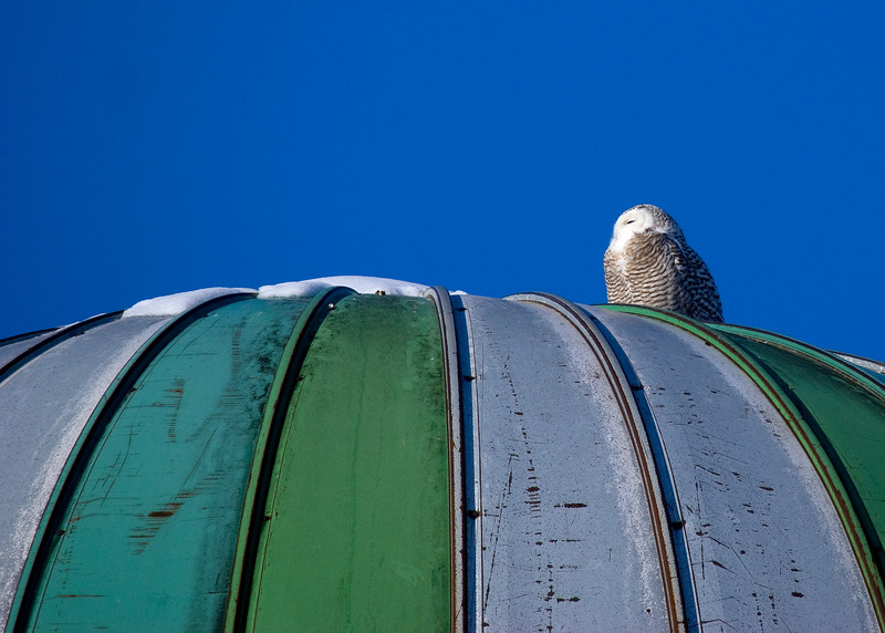 Snowy Owl on a grain silo (Young Female I believe)