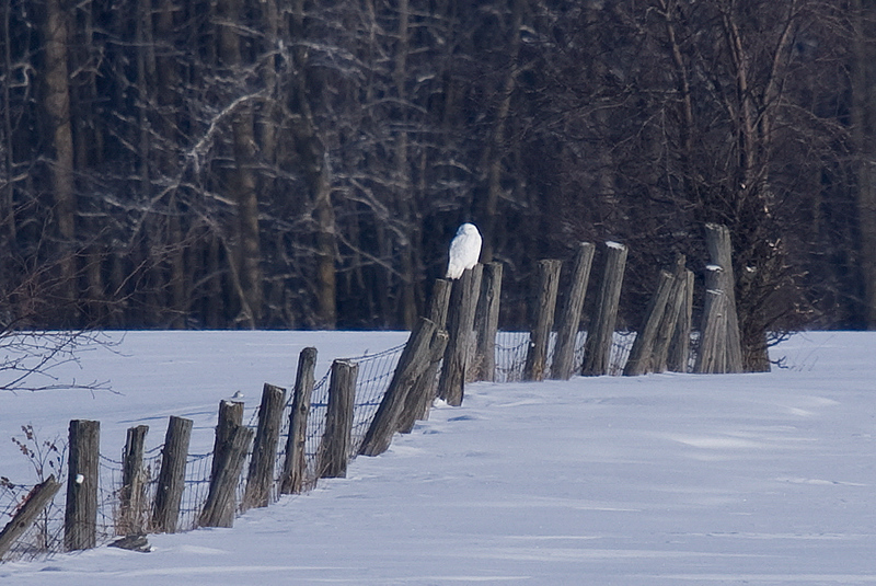 Snowy Owl (adult Male)