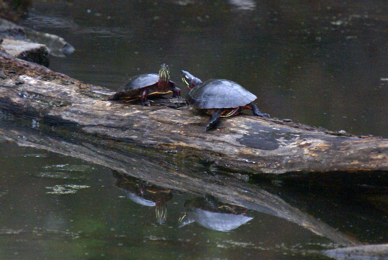 Painted Turtles...shortly before I spooked them while trying to get closer...