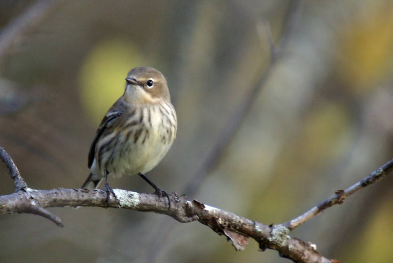 Yellow-rumped Warbler in fall plumage.