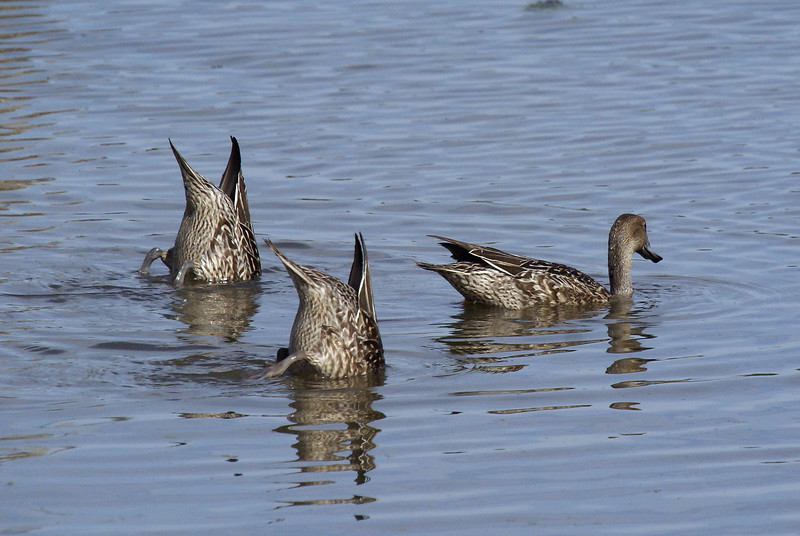 Female Pintail Ducks