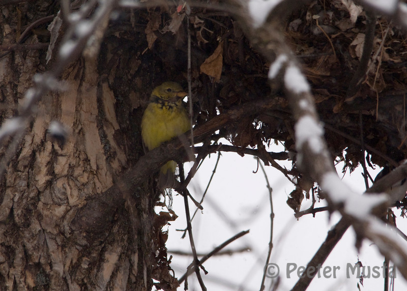 Great spot to sleep, until the squirrel returned to disturb it's rest. Female Western Tanager