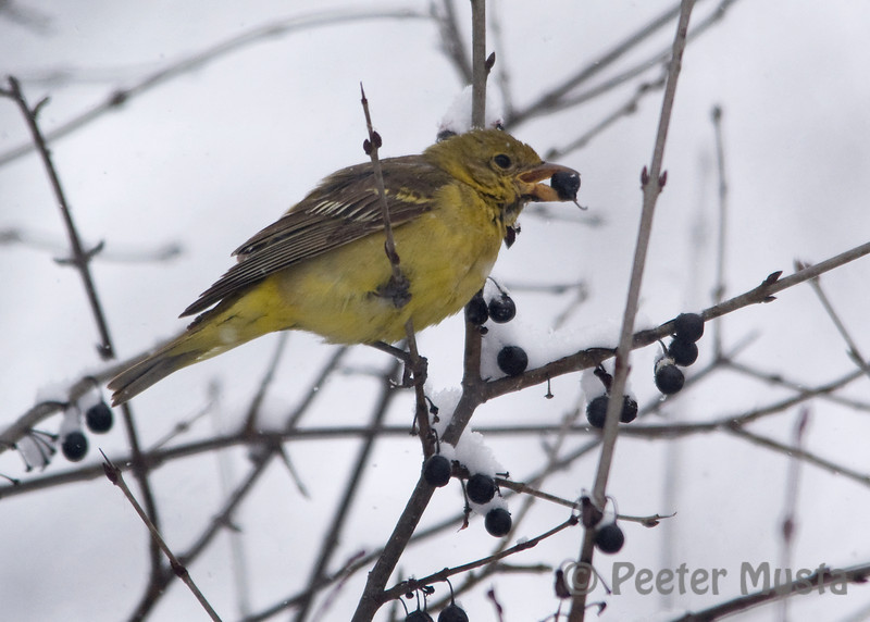 (F) Western Tanager